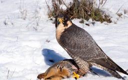 与它的鹧牺牲者的旅游猎鹰 免版税图库摄影