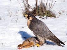 与它的鹧牺牲者的旅游猎鹰 免版税库存照片