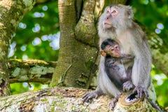 与它的年轻人的长尾的短尾猿 库存图片