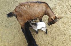 与它的婴孩的石山羊 免版税库存照片
