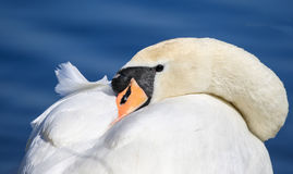 与它的头的天鹅被卷起在它的翼下 免版税库存照片