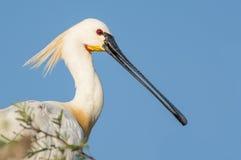 与它繁殖的plummage的欧亚篦鹭鸟 免版税库存图片