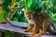 与它逗人喜爱的矮小的婴孩的松鼠猴属猴子。 免版税库存照片