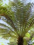 与它长的叶状体的树蕨 库存图片