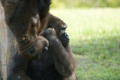 与它年轻一个的大猩猩 库存照片