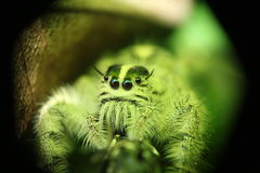 与宏观透镜的逗人喜爱的矮小的绿色蜘蛛抓住 库存照片