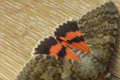 与室内色的橙色翼特写镜头的夜蝴蝶 在木土气台式视图的宏观爬行的昆虫 库存照片