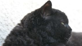 与室外黄色的眼睛的恶意嘘声 恶意嘘声在阳台说谎外面,观看 背景猫颜色rex selkirk草龟白色 影视素材