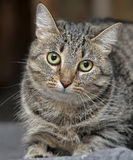 与害怕的神色的虎斑猫 免版税库存图片