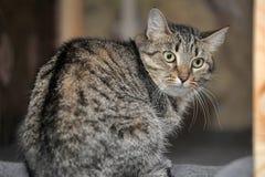 与害怕的神色的虎斑猫 库存照片