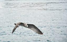 与宽传播翼的飞行海鸥 库存图片