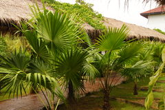 与宽广的叶子的小棕榈树 免版税库存图片