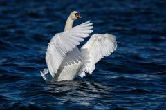 与宽翼传播的疣鼻天鹅 免版税库存照片