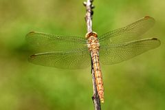 与宽翼的蜻蜓 库存照片