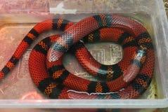 与宽黑色小条的一条长的红色蛇在一个小玻璃水族馆在 库存图片