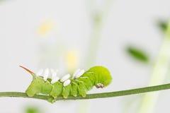 与寄生生物蛹的Hornworm 免版税库存照片