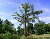 与寄生藤的树 免版税库存照片
