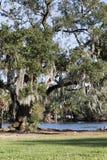 与寄生藤的橡树在池塘 库存照片