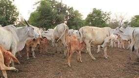 与富感情的母亲和母牛的小牛 股票视频