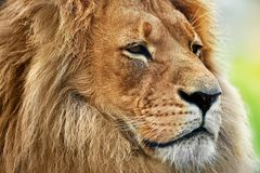 与富有的鬃毛的狮子画象在大草原,徒步旅行队 图库摄影