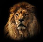 与富有的鬃毛的狮子画象在黑色 免版税库存照片
