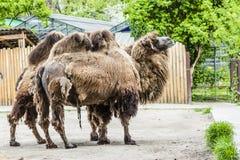 与小丘的两头伟大的大非洲骆驼 库存图片