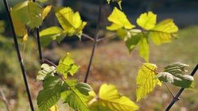 与小叶子的分支在风挥动在好日子 影视素材