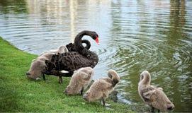 与小天鹅的黑天鹅:特写镜头 免版税库存图片
