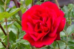 与小小滴的美丽的红色玫瑰在瓣的水 免版税库存图片