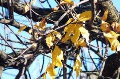 与小小组的灰树光秃的分支黄色秋叶特写镜头 秋天背景特写镜头上色常春藤叶子橙红 免版税库存图片