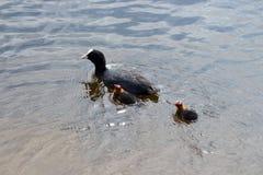 与小小鸡的母秃头老傻瓜在湖 免版税库存照片