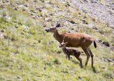 与小小鹿的母亲鹿 免版税库存图片