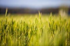 与小尖峰的一个绿色领域,面包增长反对蓝天 农业乌克兰 库存照片