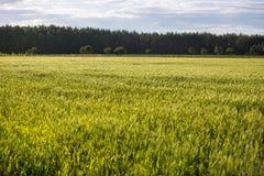 与小尖峰的一个绿色领域,面包增长反对蓝天 农业乌克兰 免版税库存图片