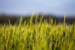 与小尖峰的一个绿色领域,面包增长反对蓝天 农业乌克兰 库存图片