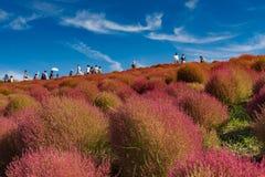与小山的地肤和波斯菊灌木在日立海滨公园在秋天使山环境美化, 库存照片