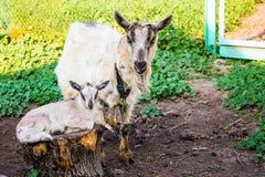 与小山羊的山羊在农场庭院里  繁殖的山羊牛奶店 库存图片