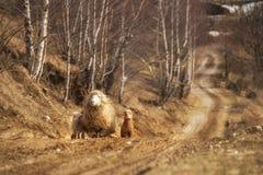 与小崽的一只绵羊 库存图片