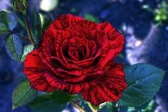 与小条的美丽的红色玫瑰在瓣 库存图片
