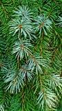 与小滴的云杉的大树枝早晨降露作为背景和纹理 库存图片