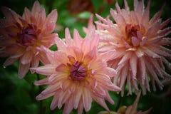 与小滴的即桃红色花大丽花乔治娜 免版税图库摄影