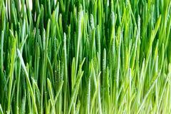 与小滴的新近地增长的wheatgrass水 免版税库存图片