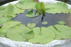 与小滴的绿色莲花事假对此在水泥水池 库存图片