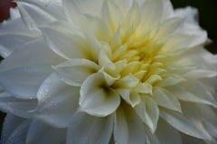 与小滴的豪华白色庭院大丽花花 特写镜头照片 图库摄影