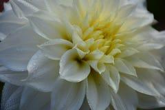 与小滴的豪华白色庭院大丽花花 特写镜头照片 库存照片
