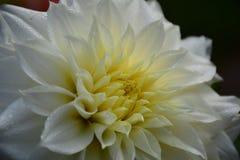 与小滴的豪华白色庭院大丽花花 免版税库存图片