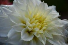 与小滴的豪华白色庭院大丽花花 库存图片