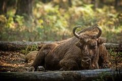 与小牛的北美野牛母牛 免版税库存图片