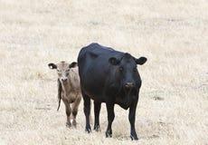 与小牛的母牛 库存照片