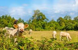 与小牛的母牛 免版税图库摄影